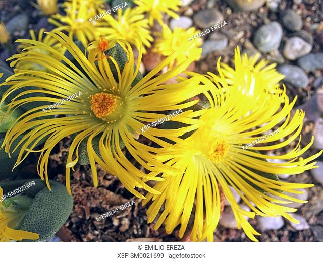 Pleiospilus bolusii. Stone plant