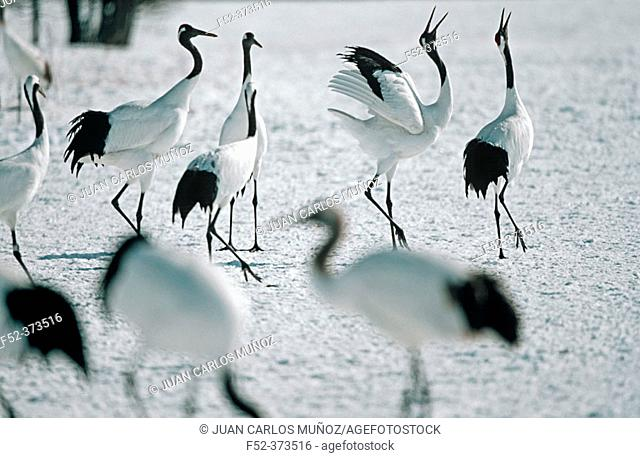 Red-Crowned Cranes (Grus japonensis). Hokkaido, Japan