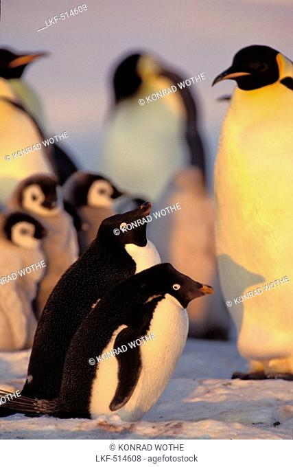 Adelie Penguins, Pygoscelis adeliae, Emperor Penguins with chick, Aptenodytes forsteri, Weddell Sea, Antarctica