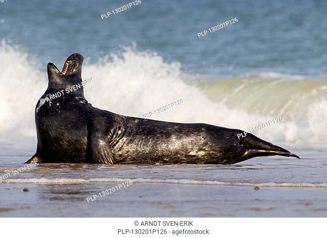 Grey seal / gray seal Halichoerus grypus lying on beach in the surf