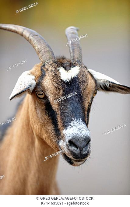 Headshot of a goat with blurry background