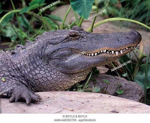 American Alligator, San Diego, CA