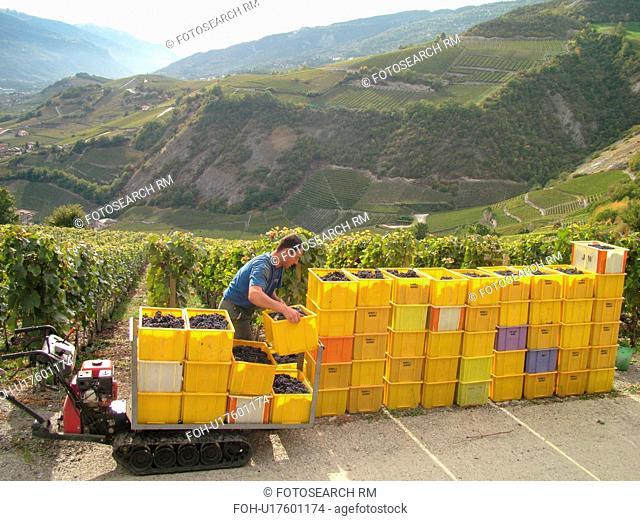 Switzerland, Europe, valais, wallis, Salgesh, Rhone Valley, Fendant Wine Region, wine harvest, vineyards, red grapes, man loading containers onto machine