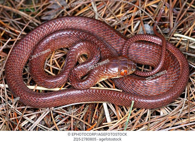 Boiga ochracea. Tawny Cat Snake. Arunachal Pradesh. India