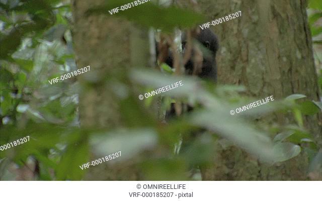 Baby Western Lowland Gorilla climbing tree trunk in forest