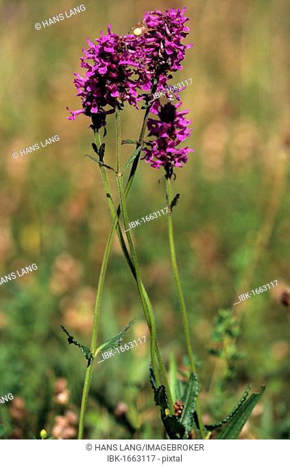 Purple Betony or Bishop's Wort (Stachys officinalis)