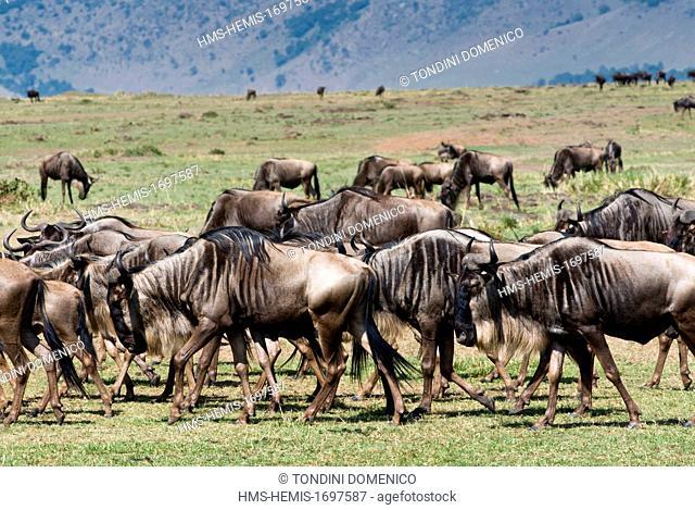 Kenya, Masai Mara National Reserve, herd of wildebeest (Connochaetes taurinus)