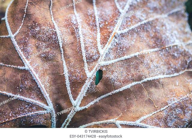Frost with ice crystal forming on the underside of a fallen leaf