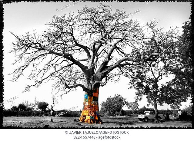 Baobab, Gambia, Africa
