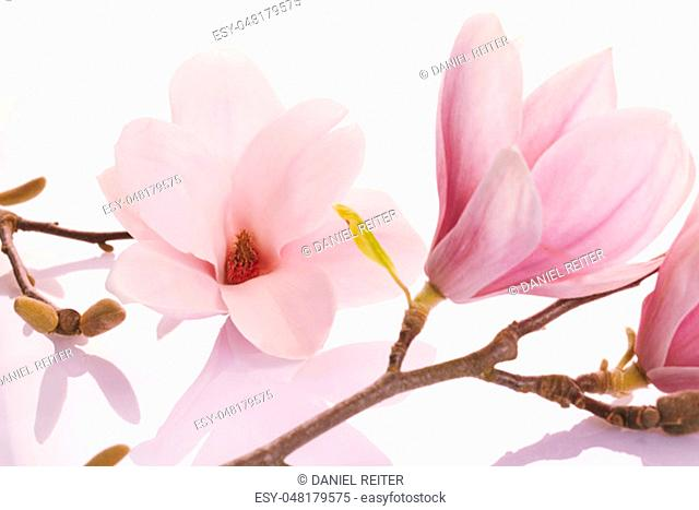 Delicate pink deciduous magnolia blossoms on a reflective white background in a close up view