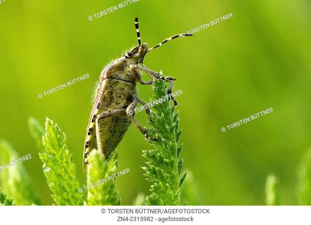 Hemiptera Bug Sitting on a Plant in Spring, Bad Schallerbach, Austria