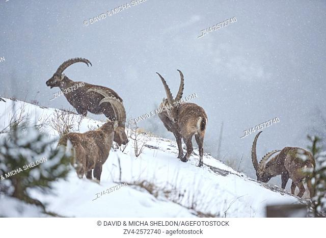 Close-up of a group of Alpine ibex (Capra ibex) in the Alps of Austria in winter