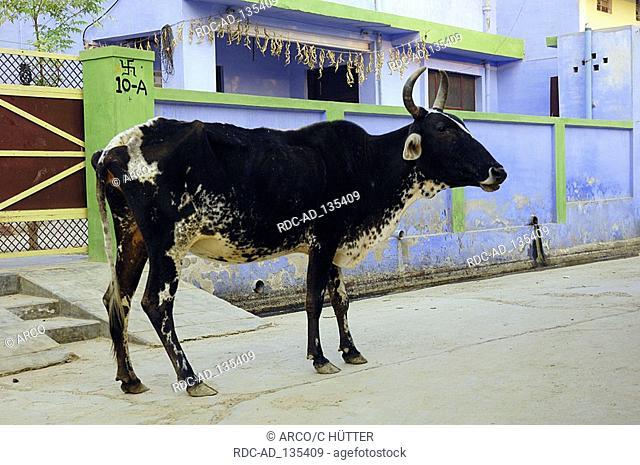 Zebu Cattle on street Bharatpur Rajasthan India Holy Cow