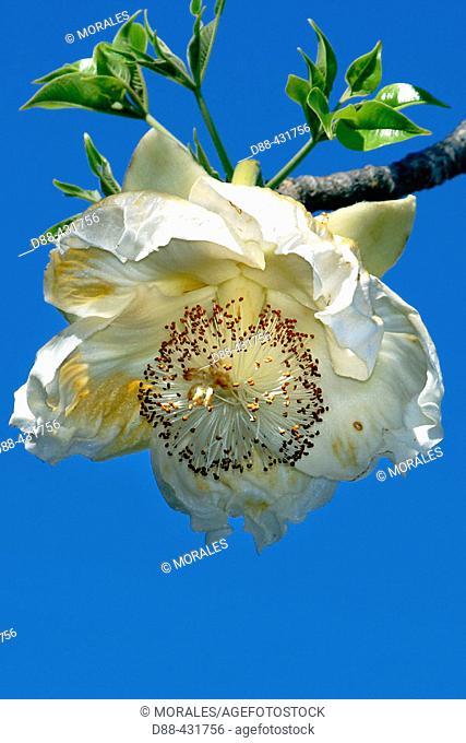 Baobab flower, Upside-down Tree. (Adansonia digitata). Mayotte. Indian Ocean
