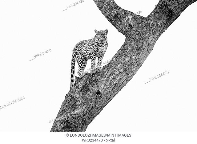 A leopard, Panthera pardus, stands in a tree, looking away, in black and white