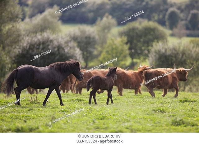 Icelandic horse and foal and Highland cattle