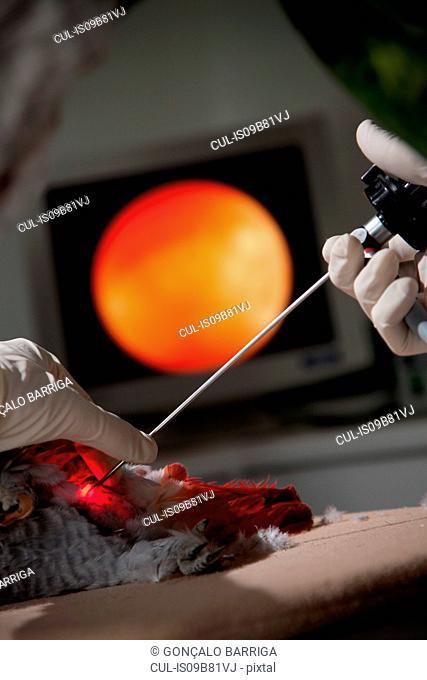 Vet using endoscope on parrot