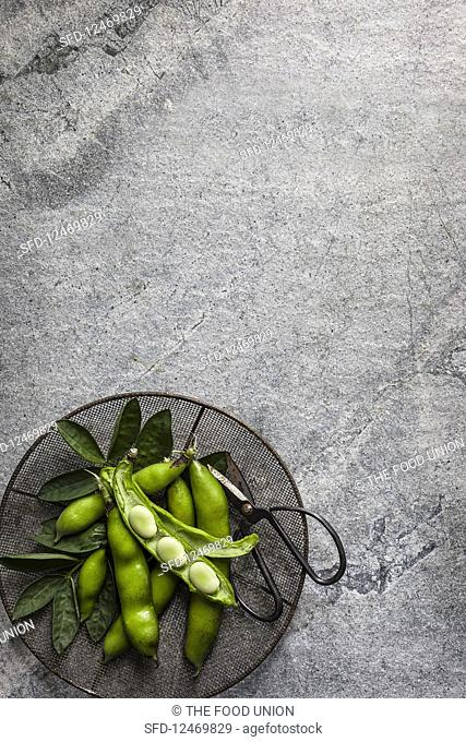 Fresh field beans on a gray stone background (top view)