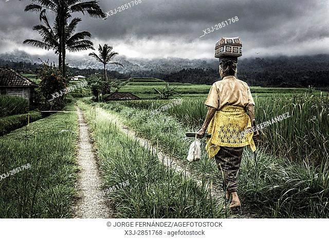Woman walking along the rice fields with a load on her head