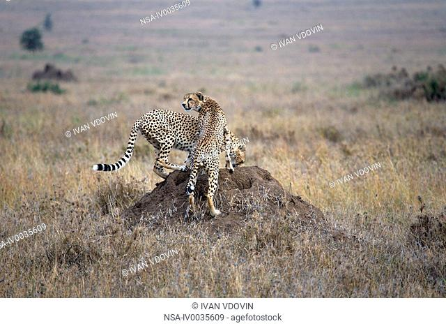 Acinonyx jubatus Cheetah, Serengeti National Park, Tanzania