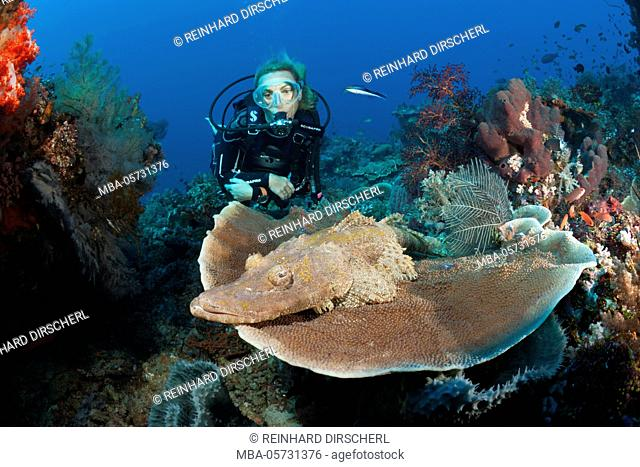 Beauforts Crocodilefish and Scuba diver, Cymbacephalus beauforti, Komodo National Park, Indonesia