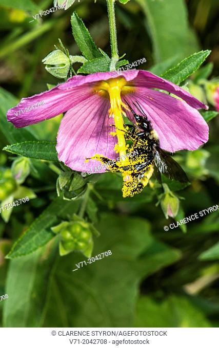 American Bumble Bee (Bombus pensylvanicus) Feeding on Marsh Mallow, Swamp Rose (Hibiscus moscheutos)
