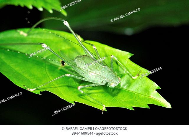 Bush cricket (fam. Tetiigonidae), Madidi National Park in the upper Amazon river basin in Bolivia