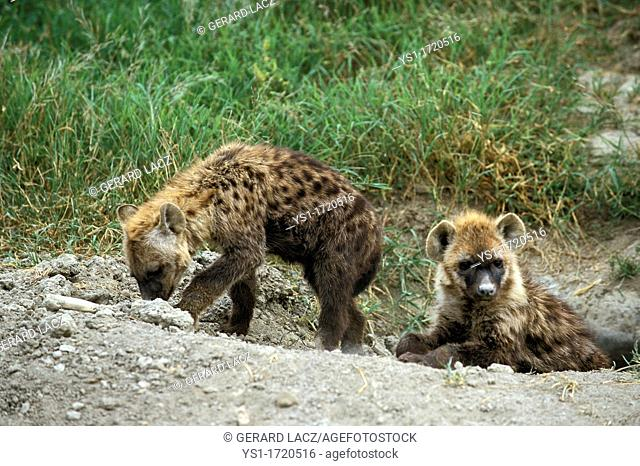 Spotted Hyena, crocuta crocuta, Youngs standing at Den Entrance, Masai Mara Park in Kenya