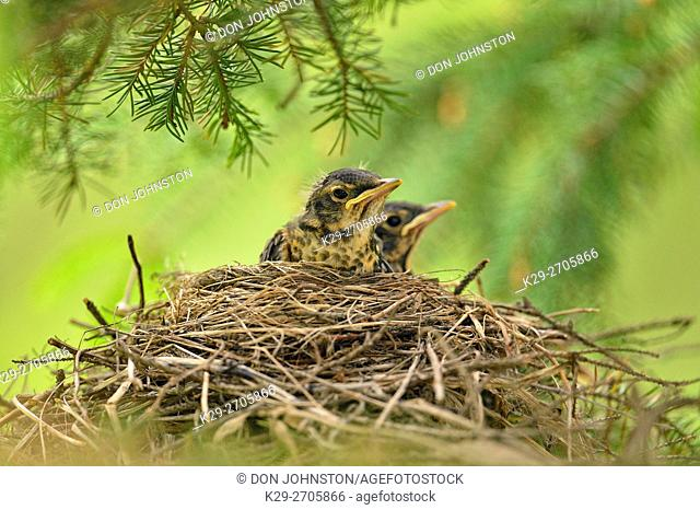 American robin (Turdus migratorius) Two fledglings in nest, Greater Sudbury, Ontario, Canada