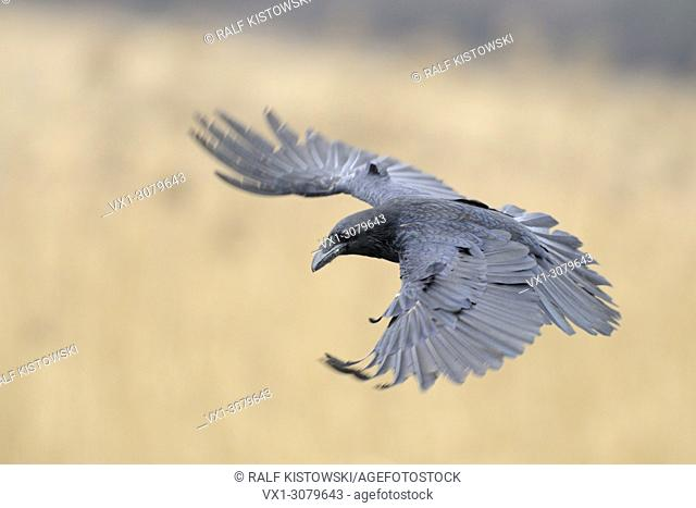 Huge Common Raven (Corvus corax) in flight, spreads his wings wide open, wildlife, Europe.
