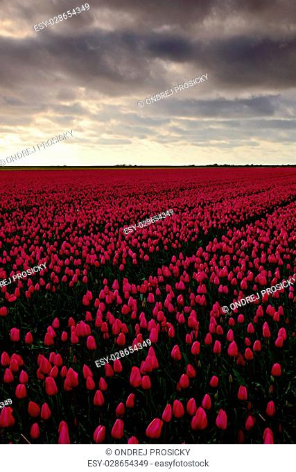 Field of red tulips in against a stormy looking sky, Holland