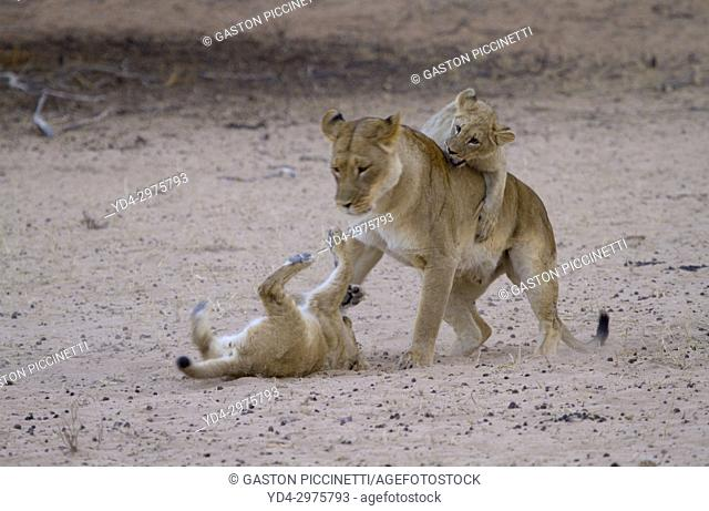 African Lion (Panthera leo) - Female and cubs, Kgalagadi Transfrontier Park, Kalahari desert, South Africa