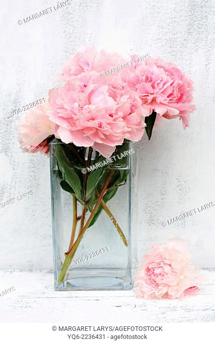 Beautiful pink peonies on white background, still life