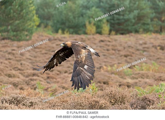 Golden Eagle (Aquila chrysaetos) adult, flying over heathland, October, controlled subject