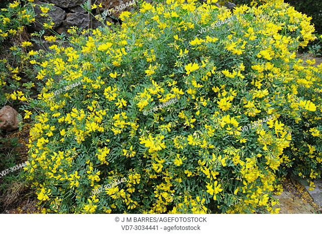 Yellow vetch stock photos and images age fotostock scorpion vetch coronilla valentina is a shrub native to western mediterranean basin from portugal mightylinksfo