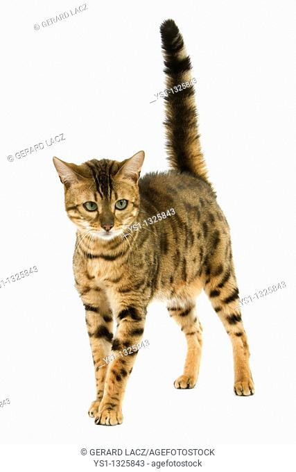 BROWN SPOTTED TABBY BENGAL DOMESTIC CAT