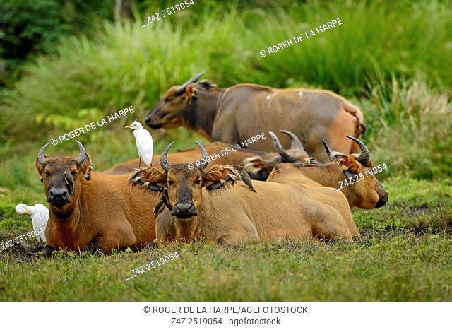 African forest buffalo (Syncerus caffer nanus) in Lango Bai. Odzala-Kokoua National Park. Cuvette-Ouest Region. Republic of the Congo