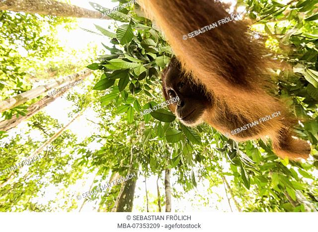 Orangutan in the jungle of Indonesia