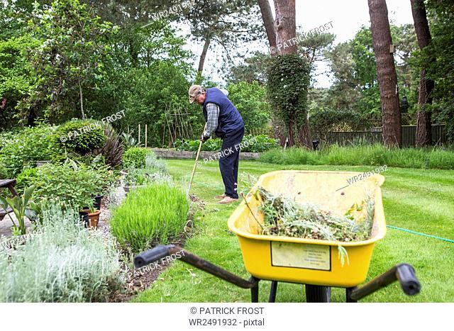 Senior man collecting weed in wheelbarrow