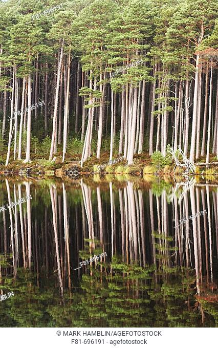 Scots pines reflected in Loch Mallachie, Abernethy Forest, Scotland  October 2006