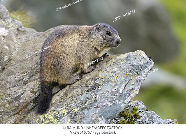 Alpine Marmot, Marmota marmota, young, Hohe Tauern National park, Austria