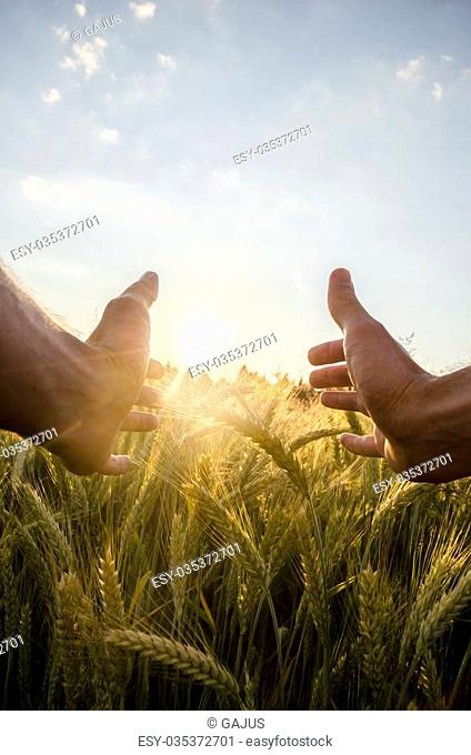Man cupping the sun with his hands over a field of ripening wheat in an agricultural field with sun flare