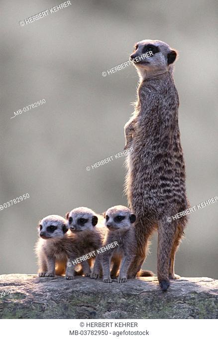 Erdmännchen, Suricata suricatta,  Dam, lookout, young, dense,  side by side, group picture Nature, fauna, Wildlife, wild animals, animals, mammals