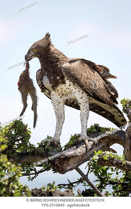 Martial Eagle (Polemaetus bellicosus) feeding on Banded mongoose, Masai Mara, Kenya