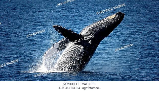 Breaching Humpback Whale, Megaptera Novaeangliae, Hawaii, Maui, United States