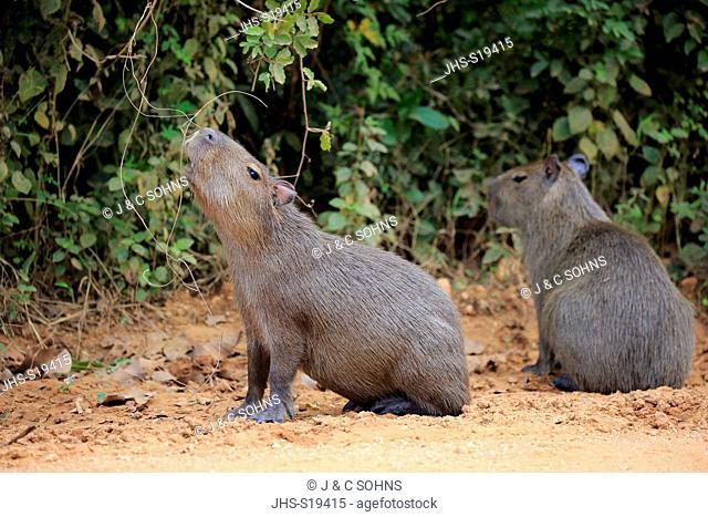 Capybara, (Hydrochoerus hydrochaeris), youngs on shore, Pantanal, Mato Grosso, Brazil, South America