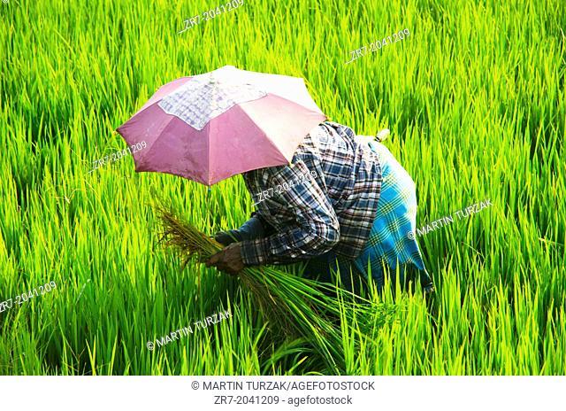 A rice picker in a field near Alleppey, Kerala, South India