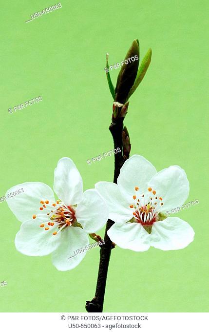 Bird cherry flower, Prunus sp., Rosaceae