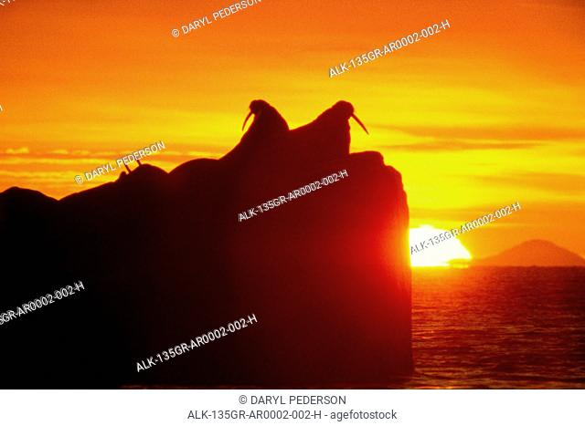 Walrus resting on rock at sunset, Round Island, Southwest Alaska, Summer
