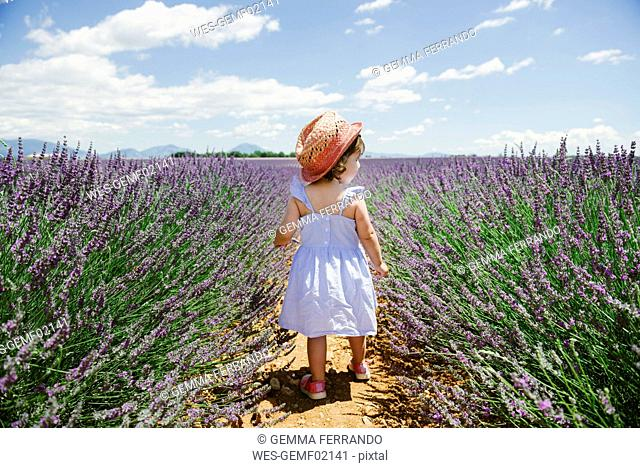 France, Provence, Valensole plateau, rear view of toddler girl in purple lavender fields in the summer